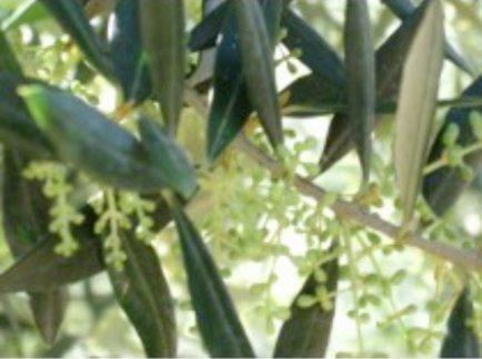 Greek Koroneiki Extra Virgin Olive Oil $21.95