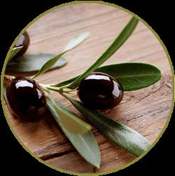 olive-branch-